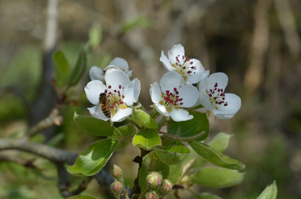 Poiriers en fleurs 1CF le bourg