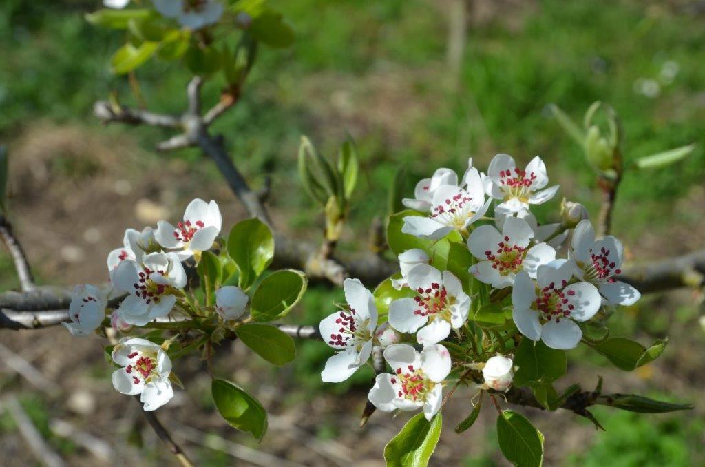 Poiriers en fleurs 2 CF le bourg