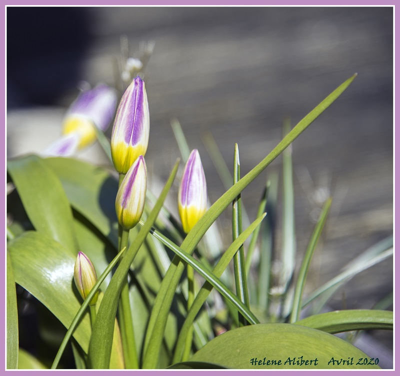 Fleurs HA Séveyrac