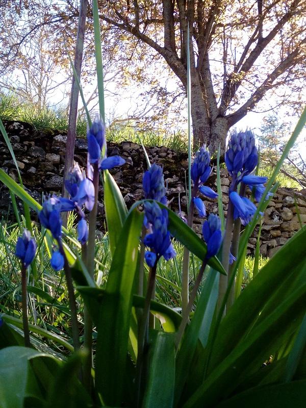 Fleurs bleues ND