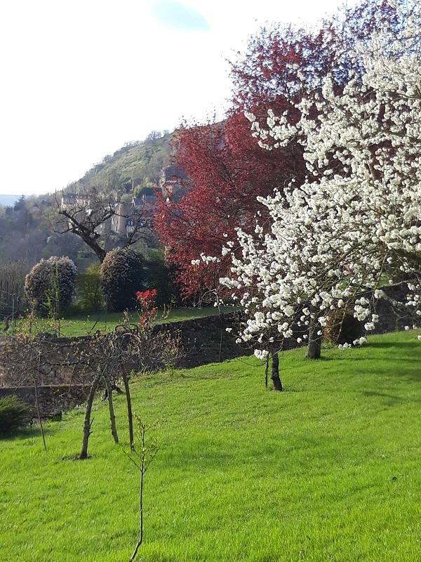 Pruniers cerisiers en fleurs BL SLS