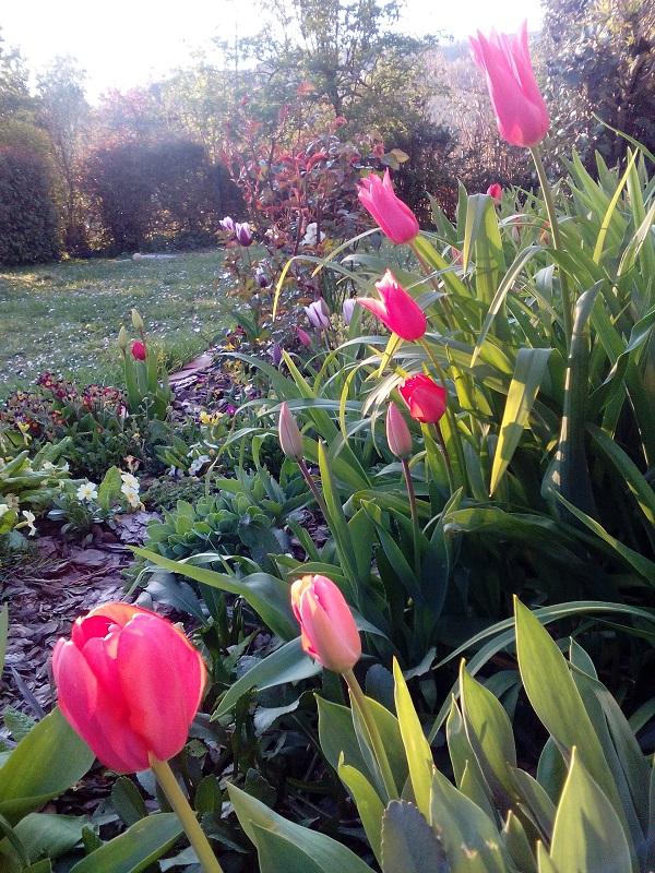Tulipes 1 ND