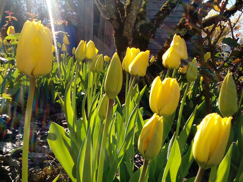 Tulipes 2 ND
