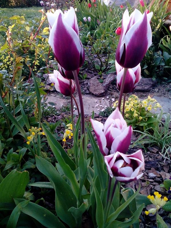 Tulipes 3 ND