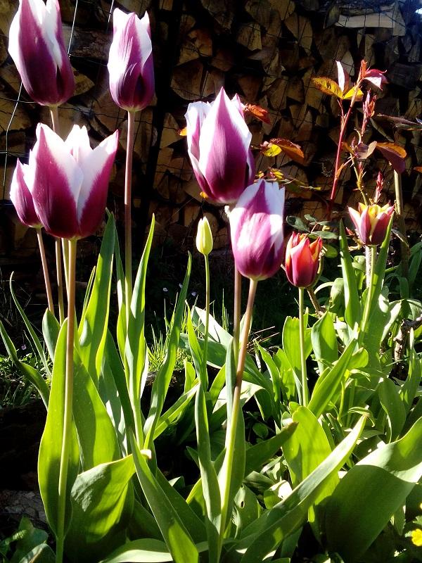 Tulipes ND
